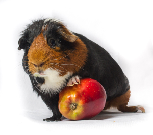 guinea pig pet portrait _PYG4609 by Paul Saripo Hull photographer